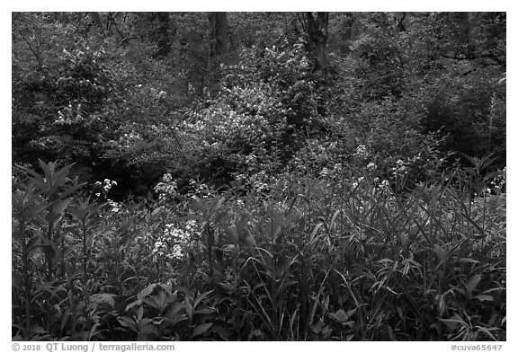 Wildflowers and blooms in summer. Cuyahoga Valley National Park (black and white)