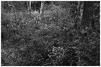 Swampy forest undergrowth in summer. Cuyahoga Valley National Park ( black and white)