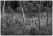 Cattails in forest pond. Cuyahoga Valley National Park ( black and white)