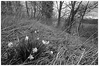 Yellow Daffodils growing at the edge of wetland. Cuyahoga Valley National Park, Ohio, USA. (black and white)