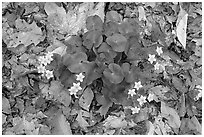 Close up of Marsh Marigold (Caltha palustris) growing amidst fallen leaves. Cuyahoga Valley National Park ( black and white)