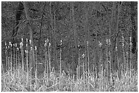 Cattails and trees, early spring. Cuyahoga Valley National Park ( black and white)