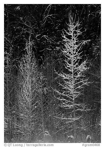 Bare trees in winter, spolighted against dark forest, Tennessee. Great Smoky Mountains National Park (black and white)