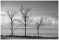Three bare trees, meadow, and fog, Cades Cove, early morning, Tennessee. Great Smoky Mountains National Park, USA. (black and white)