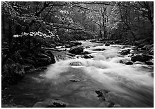 Stream with rapids and dogwoods in spring, Treemont, Tennessee. Great Smoky Mountains National Park, USA. (black and white)