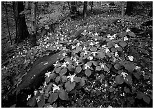 Carpet of White Trilium, Chimney Rock area, Tennessee. Great Smoky Mountains National Park, USA. (black and white)