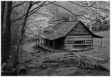 Noah Ogle historical cabin framed by blossoming dogwood tree, Tennessee. Great Smoky Mountains National Park, USA. (black and white)