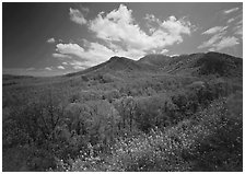 Hillsides covered with trees below Mount Le Conte in the spring, Tennessee. Great Smoky Mountains National Park, USA. (black and white)