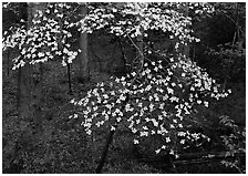 Flowering Dogwood (Cornus Florida), Tennessee. Great Smoky Mountains National Park, USA. (black and white)