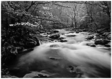 Fluid stream with and dogwoods trees in spring, Treemont, Tennessee. Great Smoky Mountains National Park, USA. (black and white)