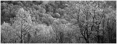Spring landscape with new leaves. Great Smoky Mountains National Park (Panoramic black and white)