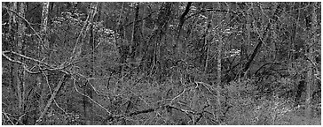 Spring forest scene with trees in bloom. Great Smoky Mountains National Park (Panoramic black and white)