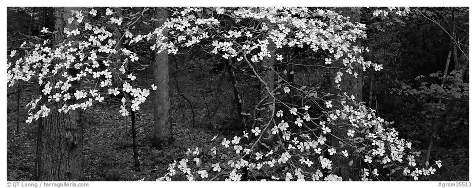 Branches with dogwood flowers. Great Smoky Mountains National Park (black and white)