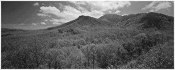Appalachian hills covered with green trees in the spring. Great Smoky Mountains National Park (Panoramic black and white)