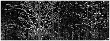 Forest in winter with illuminated trees and blue shadows. Great Smoky Mountains National Park (Panoramic black and white)