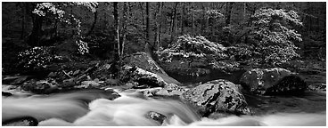 Spring forest scene with stream and dogwoods in bloom. Great Smoky Mountains National Park (Panoramic black and white)