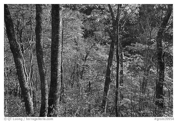 Backlit trees in autumn foliage, Balsam Mountain, North Carolina. Great Smoky Mountains National Park (black and white)