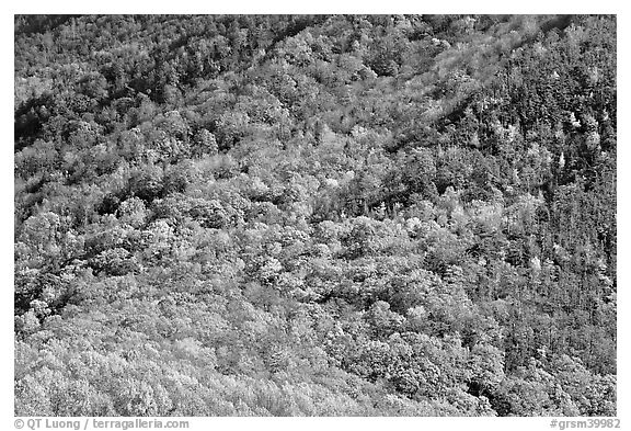 Trees in fall colors on slope, Tennessee. Great Smoky Mountains National Park (black and white)