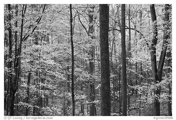 Forest scene in autumn, Tennessee. Great Smoky Mountains National Park (black and white)