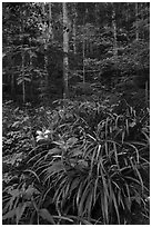 Orange day-lily (hemerocallis fulva) in lush forest, Elkmont, Tennessee. Great Smoky Mountains National Park ( black and white)