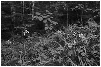 Ditch Lilies ((hemerocallis fulv) in lush forest, Elkmont, Tennessee. Great Smoky Mountains National Park ( black and white)