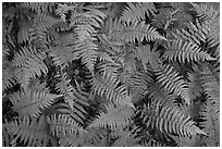 Close-up of ferns, Elkmont, Tennessee. Great Smoky Mountains National Park ( black and white)