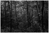 Forest with late afternoon sunlight, Elkmont, Tennessee. Great Smoky Mountains National Park ( black and white)