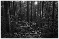 Forest with sunstar, Elkmont, Tennessee. Great Smoky Mountains National Park ( black and white)