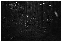 Light trails of Synchronous and Blue Ghost fireflies, Elkmont, Tennessee. Great Smoky Mountains National Park ( black and white)
