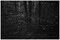 Light trails of Synchronous fireflies, Elkmont, Tennessee. Great Smoky Mountains National Park ( black and white)