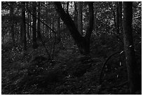 Synchronous fireflies (Photinus carolinus), early evening, Elkmont, Tennessee. Great Smoky Mountains National Park ( black and white)