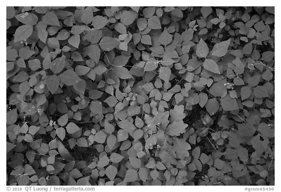 Close-up of forest floor, Little River, Tennessee. Great Smoky Mountains National Park (black and white)