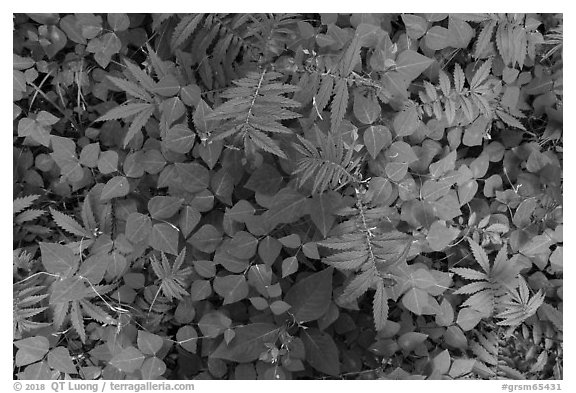 Close-up of ferns and leaves on forest floor, Little River, Tennessee. Great Smoky Mountains National Park (black and white)