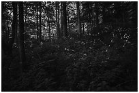 Light bugs in forest, Elkmont, Tennessee. Great Smoky Mountains National Park ( black and white)