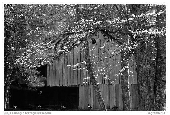 Historical barn with flowering dogwood in spring, Cades Cove, Tennessee. Great Smoky Mountains National Park (black and white)