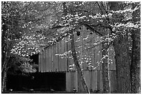 Historical barn with flowering dogwood in spring, Cades Cove, Tennessee. Great Smoky Mountains National Park, USA. (black and white)