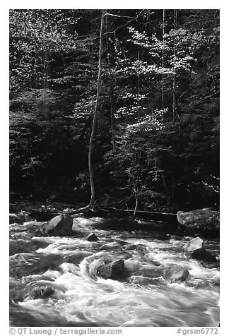Sunlit Little River and dogwood tree in bloom, early morning, Tennessee. Great Smoky Mountains National Park (black and white)