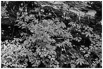 Undergrowth with Forget-me-nots and red Columbine, Tennessee. Great Smoky Mountains National Park, USA. (black and white)