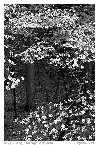 Dogwood tree with white blooms, Tennessee. Great Smoky Mountains National Park (black and white)