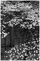 Dogwood tree with white blooms, Tennessee. Great Smoky Mountains National Park, USA. (black and white)