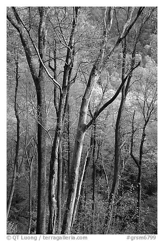 Spring hillside seen through tree trunks, late afternoon, Tennessee. Great Smoky Mountains National Park (black and white)
