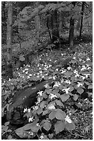 Carpet of White Trilium in verdant forest, Chimney area, Tennessee. Great Smoky Mountains National Park, USA. (black and white)