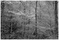 Blooming Dogwood and redbud trees in forest, Tennessee. Great Smoky Mountains National Park, USA. (black and white)