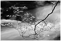 Dogwood branch with white blossoms and flowing stream, Treemont, Tennessee. Great Smoky Mountains National Park, USA. (black and white)