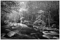 River and dogwoods, late afternoon sun, Middle Prong of the Little River, Tennessee. Great Smoky Mountains National Park, USA. (black and white)