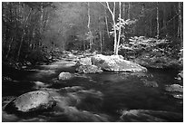 Blossoming Dogwoods, late afternoon sun, Middle Prong of the Little River, Tennessee. Great Smoky Mountains National Park, USA. (black and white)