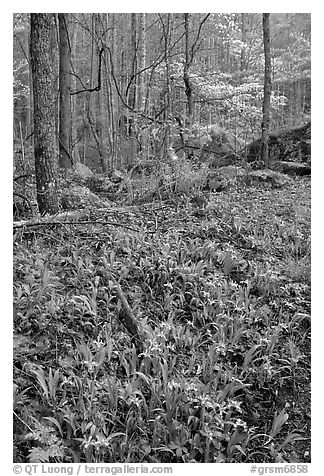 Crested Dwarf Irises in Forest, Roaring Fork, Tennessee. Great Smoky Mountains National Park (black and white)