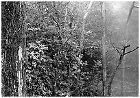 Steam rising in forest. Hot Springs National Park ( black and white)