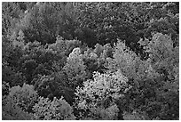 Trees in fall color on hillside. Hot Springs National Park ( black and white)