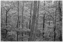 Forest in autumn colors, West Mountain. Hot Springs National Park ( black and white)